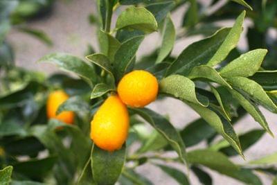 Citrus and Fruit