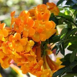 summer gardening plumeria bougainvillea star jasmine gardenias